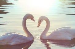 Swan Arkivfoto