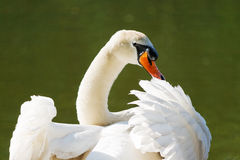 Swan. A mute swan spreading its wings and looking back royalty free stock image
