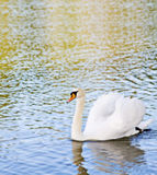 A Swan Stock Photo