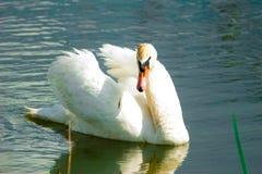 Swan. Swimming white swan on blue glass lake stock photos
