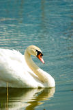 Swan. Swimming white swan on blue glass lake Royalty Free Stock Photo