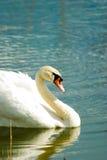 Swan. Swimming white swan on blue glass lake royalty free stock photo