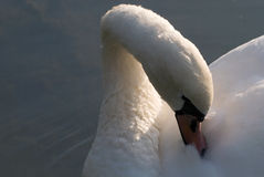 A swan. Swans rests on the lake Stock Photo