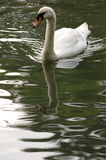 The Swan. A Swan with reflection in water royalty free stock image