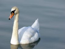 Swan. On lake Royalty Free Stock Photography