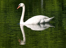 Swan. Swimming on a green water, because of the reflection of the trees on a lake Stock Image