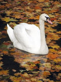 Swan. Floating in a pond with maple foliage Royalty Free Stock Image