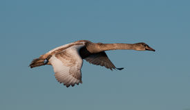 Swan. Young swan has just flown from a lake Royalty Free Stock Photography