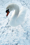Swan. Single swan on snow. High key background Royalty Free Stock Photo