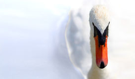 Swan. Front view of a white swan, a lot of copy-space Stock Photo