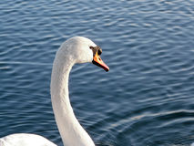 Swan. A swan swimming on a lake Stock Image