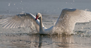 Swan. Landing on the ice and break through the ice Royalty Free Stock Photo