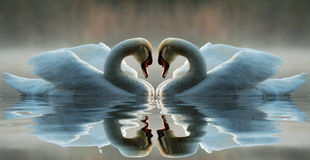 Swan. Two swans reflecting on the water Stock Photo