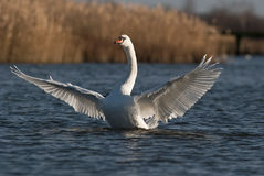 Swan. Stretching wings in the sun Stock Photos