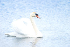 Swan. Wild swan floating among the reeds in a small pond Stock Images