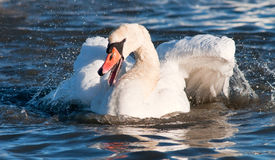 Swan. Svan is washing its feathers Stock Photography
