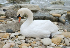 Swan. Highly detailed swan, bathed in setting sunlight Stock Photos