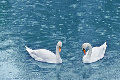 Swan. Two swan on turquoise water closeup Royalty Free Stock Images