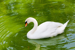 Swan. Swimming in emerald green lake royalty free stock image