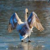 Swan royaltyfria foton