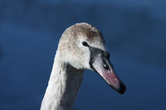 Swan. Head on a blue background Stock Photo