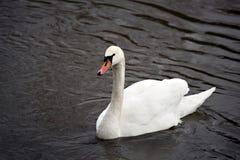 swan Arkivbilder