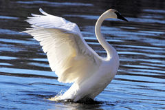 Swan royalty free stock images