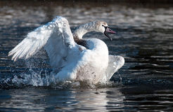 Swan. Washing its feathers in a lake Stock Image