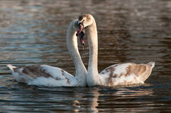 Swan. Two young swans in a lake Stock Photo