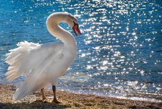 Free Swan Stock Images - 13361674