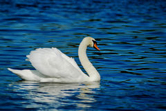 Swan. White swan at the blue lake, horizontally framed shot royalty free stock images