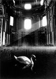 The swan. Assemblage of images depicting a swan in an flooded temple Royalty Free Stock Images