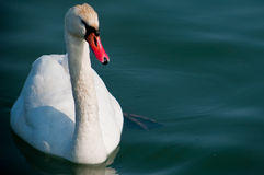 A swan Stock Photography
