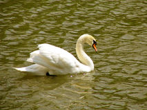 Swan. Floating in the river Royalty Free Stock Photos