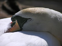 Swan. Resting swan close up royalty free stock images