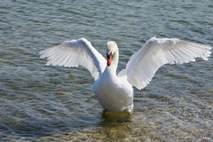 Swan. Photo of a swan in the lake Stock Image