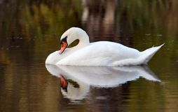Swan. Preening feather on lake Stock Images