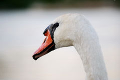 While swan. White swan on bright still water royalty free stock image