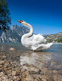 The swan Royalty Free Stock Photo