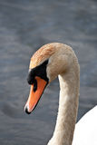 Swan. Closeup of a Swan with waterdrops on his head Stock Image