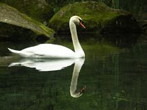 Swan. In water Stock Image