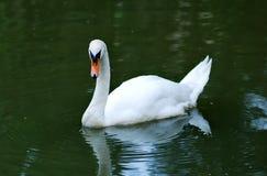 Free Swan Royalty Free Stock Image - 1732686