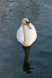 Swan. Reflected in lake sources of Clitunno in Umbria Royalty Free Stock Photography