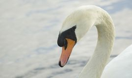 Swan. White swan on the lake. Family Anatidae, genus Cygnus Royalty Free Stock Photography