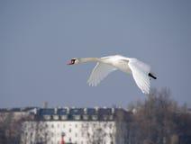 Swan Stock Image
