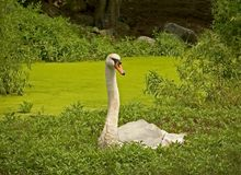 The Swan. This is a shot of a swan contrasted in the midst of a green swamp stock photos