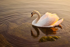 Swan. S are of the wild life species one can observed in Lake Geneva Stock Image