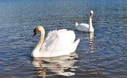 Swan. Two swan sail on lake Royalty Free Stock Image