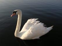 Swan 2. Swan stock photo