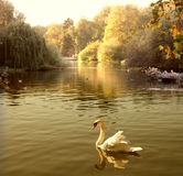 Swan. In a lake at sunset Stock Image
